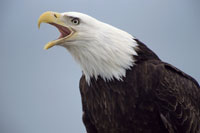 BALD EAGLE CALLING, SOUTHEAST ALASKA