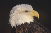 BALD EAGLE, PORTRAIT, NORTH AMERICA