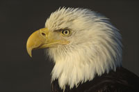 BALD EAGLE ADULT PORTRAIT, NORTH AMERICA