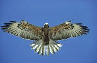 翼を広げるタカ(ガラパゴスノスリ) フェルナンディナ島