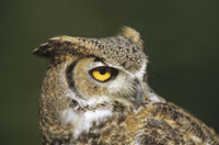 GREAT HORNED OWL, NORTH AMERICA