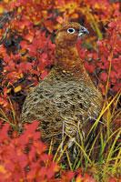 WILLOW PTARMIGAN (Lagopus lagopus)