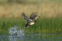飛び立つオカヨシガモと水しぶき ニューメキシコ アメリカ