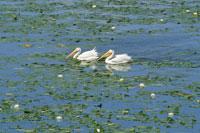 湖の2羽のアメリカガランチョウとスイレン ミネソタ州 01543010784| 写真素材・ストックフォト・画像・イラスト素材|アマナイメージズ