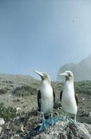 2羽のアオアシカツオドリ イサベラ島 ガラパゴス諸島 01543010796| 写真素材・ストックフォト・画像・イラスト素材|アマナイメージズ