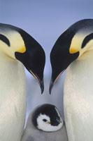 寄り添う3羽のペンギンの親子 南極大陸