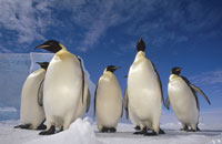 コウテイペンギンの群れ ウェッデル海 南極大陸