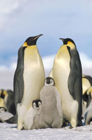 EMPEROR PENGUIN WITH CHICKS, ANTARCTICA
