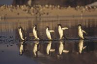 水面で一列に並ぶ5羽のアデリーペンギン 南極大陸