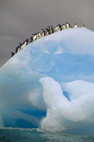 氷山のアデリーペンギンの群れ ローリー島 南極大陸