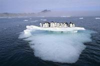 ロス海の氷塊の上のアデリーペンギン群れ 南極大陸