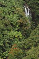 熱帯多雨林の植物 ハワイ アメリカ