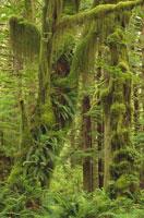 オリンピック国立公園の木に絡む苔(緑色) ワシントン州