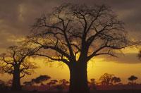 ジャイアントバオバブと日没 タンザニア