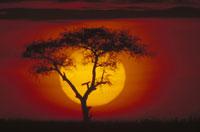 サバンナの日の出とアカシアの木(赤) マサイマラ ケニヤ