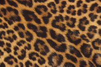 DETAIL OF PATTERN ON JAGUAR SKIN