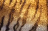 ベンガルトラの毛皮 インド