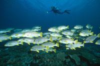 ダイバーとアジアコショウダイの群泳 パプアニューギニア