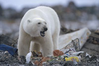 POLAR BEAR IN GARBAGE DUMP, CANADA