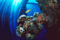 油田掘削機の上に育つ珊瑚