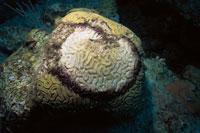 黒帯病で死んだサンゴ
