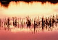 日没の泉に映る草の影