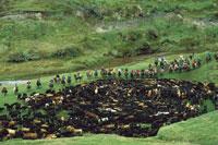 家畜を追うカーボーイ