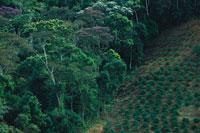 熱帯雨林に広がるコーヒー・プランテーション 01543013920| 写真素材・ストックフォト・画像・イラスト素材|アマナイメージズ