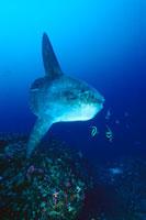 Ocean Sunfish,Mola mola