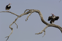 マダラハゲワシ