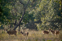 SPOTTED DEER,Axis axis