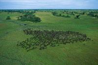 Cape Buffalo,Syncerus caffer