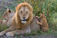 Lion,Panthera leo