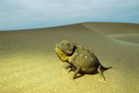 Namaqua Chameleon 01543015817| 写真素材・ストックフォト・画像・イラスト素材|アマナイメージズ