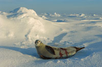 Crabeater Seal,Lobodon carcinophagus