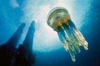 Papuan Jellyfish or Mangrove Jellyfish 01543015974| 写真素材・ストックフォト・画像・イラスト素材|アマナイメージズ