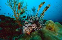Lionfish,Pterois sp