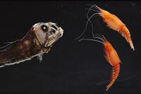 アミ類を追うホウライエソの仲間 01543016431| 写真素材・ストックフォト・画像・イラスト素材|アマナイメージズ