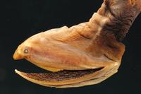 フクロウナギの仲間 01543016433| 写真素材・ストックフォト・画像・イラスト素材|アマナイメージズ