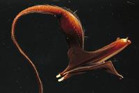 フクロウナギ 01543016438| 写真素材・ストックフォト・画像・イラスト素材|アマナイメージズ