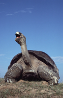 ガラパゴスゾウガメ 01543016528| 写真素材・ストックフォト・画像・イラスト素材|アマナイメージズ