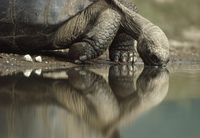 ガラパゴスゾウガメ 01543016568| 写真素材・ストックフォト・画像・イラスト素材|アマナイメージズ