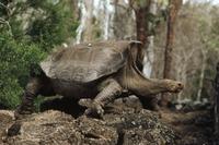 ガラパゴスゾウガメの亜種 01543016578| 写真素材・ストックフォト・画像・イラスト素材|アマナイメージズ