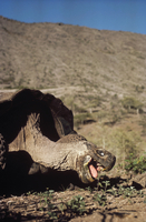 ガラパゴスゾウガメ 01543016614| 写真素材・ストックフォト・画像・イラスト素材|アマナイメージズ