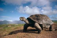 Galapagos Tortoise 01543016662| 写真素材・ストックフォト・画像・イラスト素材|アマナイメージズ