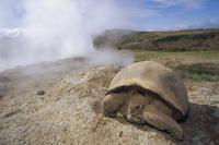 ガラパゴスゾウガメ 01543016664| 写真素材・ストックフォト・画像・イラスト素材|アマナイメージズ