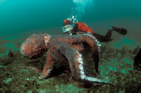 Diver and a Pacific Giant Octopus