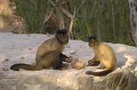 ブラジルゾウゲヤシの実を割るフサオマキザル