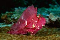 Leaf Scorpionfish 01543017588| 写真素材・ストックフォト・画像・イラスト素材|アマナイメージズ