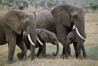 African Elephant, females and calves